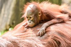 Borneo orangutans, mother and his baby playing. Borneo orangutans playing on the ground together and having a blast time in the sun. so lovly togehter the stock image