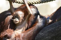 Borneo orangutans, mother and his baby playing stock image