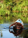 Borneo the pirate. The orangutan floats in a boat, rowing with hands, as oars. Borneo, Indonesia Stock Photo