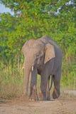Borneo-Pygmäe-Elefant stockfotos