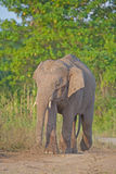 Borneo Pygmy Elephant Stock Photos