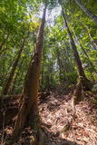 Borneo rainforest. Dense mixed lowland rainforest in Lambir Hills National Park, Borneo, Malaysia. Wide angle view from below Royalty Free Stock Images