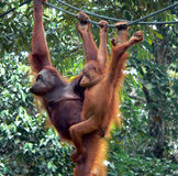 Borneo. Rehab Orangutans. Borneo..Mother & Baby, Rehabilitated Orangutans stock photo