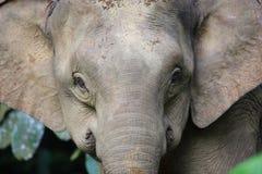 Borneo słoń Zdjęcie Stock