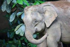 Borneo słoń Zdjęcia Royalty Free