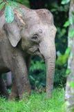 Borneo słoń Obrazy Stock