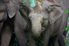 Borneo słoń Fotografia Royalty Free