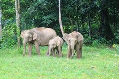 Borneo słoń Obraz Royalty Free