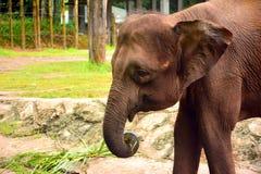 Borneo słoń, także dzwoniący Borneo pigmeja słoń Fotografia Royalty Free