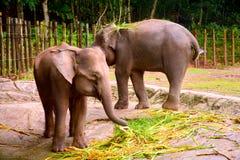 Borneo słoń, także dzwoniący Borneo pigmeja słoń Fotografia Stock