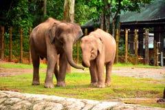 Borneo słoń, także dzwoniący Borneo pigmeja słoń Zdjęcia Stock