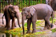 Borneo słoń, także dzwoniący Borneo pigmeja słoń Zdjęcie Stock
