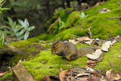 Borneo's wild squirrel Stock Photography