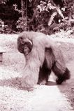 Borneo sepia image of Orangutan Royalty Free Stock Photo