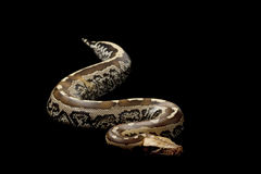 Borneo short-tailed blood python Royalty Free Stock Photos