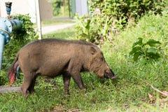 Borneo wild pig. Borneo wild pig eating grass Stock Photo