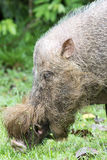 Borneo wild pig. Head of Borneo wild pig eating grass Royalty Free Stock Image