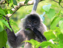 Borneo. Wild Silver-Leaf. Monkey stock photo