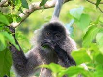 Borneo. Wildes Silber-Blatt Stockfoto