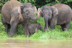Borneon Pygmy Elephant Royalty Free Stock Images