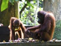 Borneose orang-oetan, Bornean Orangutan, Pongo pygmaeus stock photography