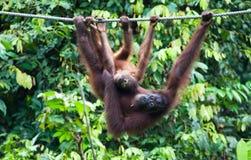 Borneose-Orang-Utan-oetan, Bornean-Orang-Utan, Pongo pygmaeus lizenzfreies stockfoto