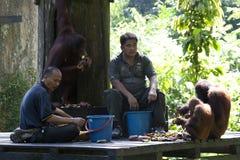 Borneose orangutang-oetan, Bornean orangutang, Pongopygmaeus arkivbild
