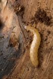 Boros schneideri larva on pine wood Stock Image