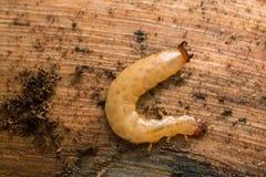 Boros schneideri larva on pine wood Stock Photo