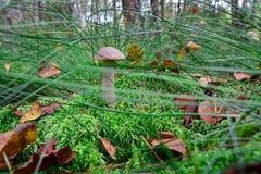 Borowik chuje w trawie Obraz Royalty Free