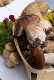 Borowik edulis, cepe, porcini rozrasta się nieumytego na biały drewnianym Obraz Stock