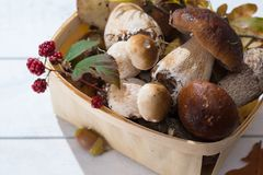 Borowik edulis, cepe, porcini rozrasta się nieumytego na biały drewnianym Obrazy Stock