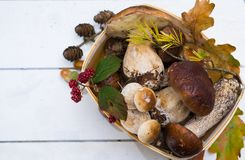 Borowik edulis, cepe, porcini rozrasta się nieumytego na biały drewnianym Zdjęcie Stock