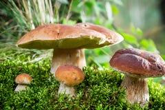 Borowik ono rozrasta się na mech przy świtem w lesie zdjęcia royalty free