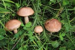 Borowik w trawie w lasowej kolekci pieczarki w lasowym jedzeniu i rewizi Zdrowym i smakowitym Obrazy Stock