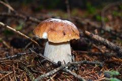 borowika chlebowa lasu s wiewiórka Fotografia Stock