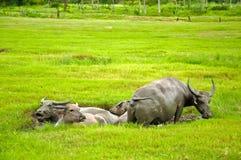 borowinowa bizon kałuża fotografia royalty free