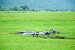 borowinowa bizon kałuża obrazy royalty free