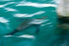 Borrão do leão de mar Imagens de Stock Royalty Free
