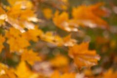 Borrão, folhas de bordo fora de foco no outono imagem de stock