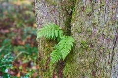 Borrachín Fern Growing en árbol imagen de archivo