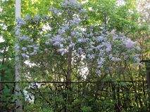 Borrachín y lila blanda en el jardín fotografía de archivo