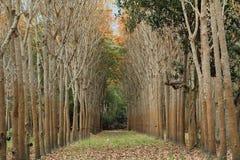 Borracha trees Imagem de Stock Royalty Free