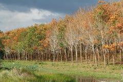 Borracha trees Foto de Stock Royalty Free