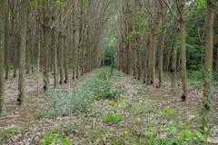 Borracha trees Imagens de Stock