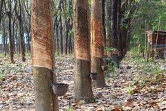 Borracha trees Fotos de Stock Royalty Free