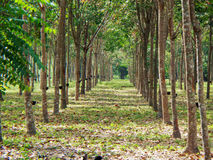 Borracha trees Fotografia de Stock Royalty Free