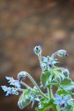 Borragine - borago officinalis Immagine Stock
