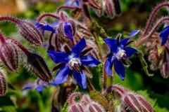 Borraja en flor Imagenes de archivo