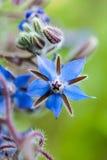 Borraja (officinalis del Borago) Imágenes de archivo libres de regalías